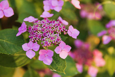 Pink hydrangea flowers and leaves in garden. Floral background