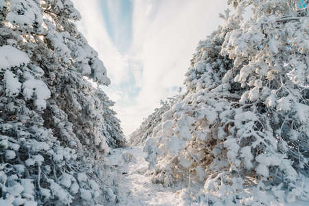 Winter time in forest with snow trees. Snowy pine branch