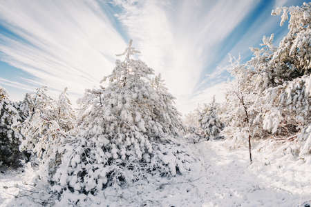 Winter forest with snowy pine trees. Snow frozen landscape in sunny day
