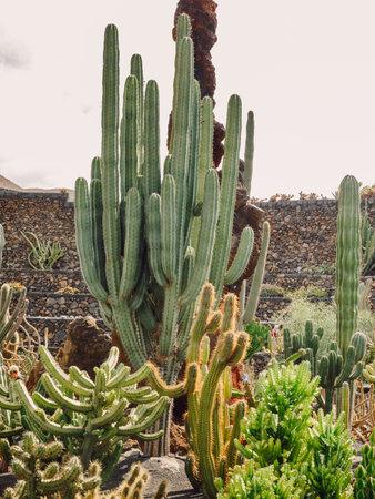 Cactus garden with rare plants in Lanzarote island at Canary Islands Zdjęcie Seryjne