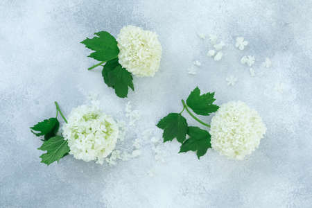 White hydrangea with petals on gray background. Flat lay, Top view