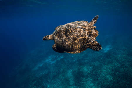 Green sea turtle underwater in transparent ocean at Hawaii Banco de Imagens