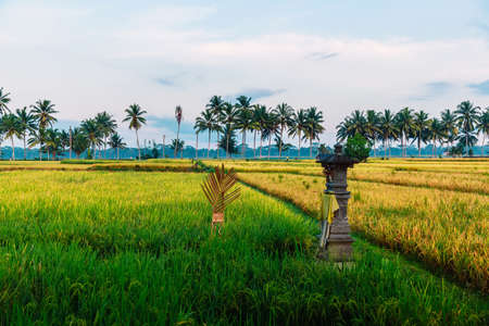 Rise field with coconut palms and mornin light in Bali, Indonesia Stock fotó