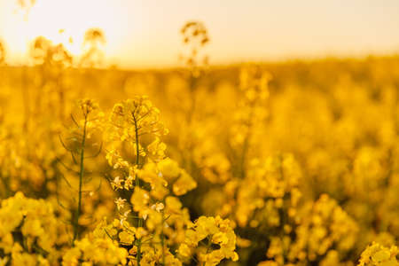 Rapeseed field with yellow flowers and golden sunset tones.