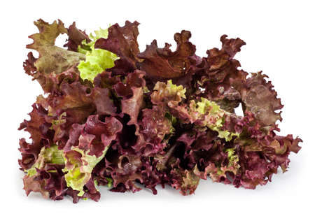 looseleaf: Red Leaf Lettuce with water drops, isolated on white. Lollo rosso (Lactuca sativa) is a colorful loose-leaf lettuce with dark, reddish-purple, ruffled leaf tips. Stock Photo