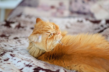 A big red cat is lying on the couch. He looks calmly over his shoulder. Lazy look, bright, long hair. Pets, family favorite, luxury pet. Stock Photo