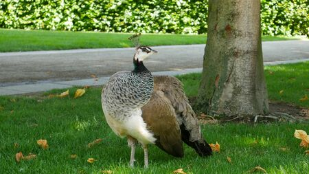 freely: Waldstein Park The female peacock roams freely