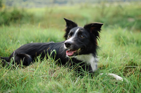 Active Black and White Dog Lying in the Green Grass with Tongue Hanging Out During Hot Summer Day. Stock Photo