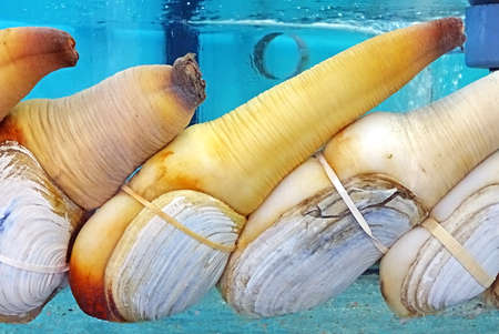elephant trunk clam