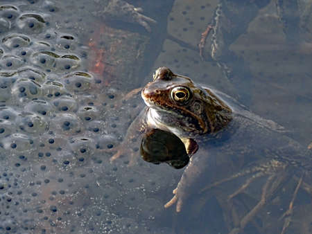 Frog in the water next to spawning 版權商用圖片