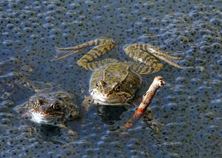 spawning: Frogs in the water next to spawning Stock Photo