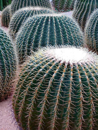 Several large cacti Echinocactus grusonii, popularly known as the golden barrel cactus, Golden ball or mother-in-laws cushion