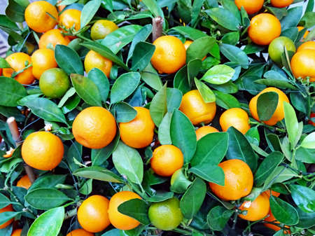 Ripe fruits on a tangerine tree