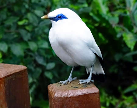 White bird-styled Bali Starling (Leucopsar rothschildi)