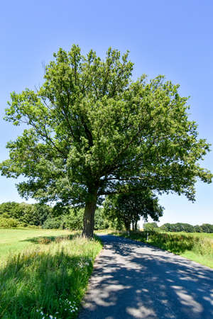 Big tree on small country road in Mecklenburg-Vorpommern (Germany)