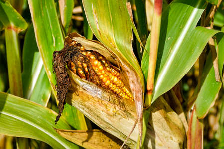 Ripe corn cob on a corn plant in a field