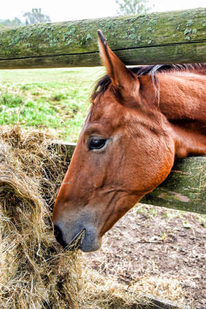A horse puts its head between the fence of the paddock to eat hay.