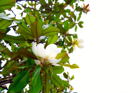 White blossoming magnolia in green leaves