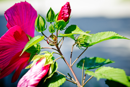 Wedding rings on hibiscus buds. Wedding photoshoot. 版權商用圖片