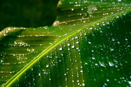 Green Tropic Banana Leafs with Dewdrops photo