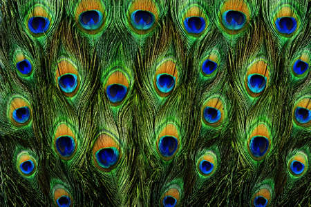 peacock design: Close up of a male peacock displaying its stunning tail feathers