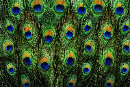 pluma de pavo real: Primer plano de un pavo real macho mostrando sus impresionantes plumas de la cola