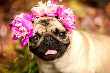 행복 한 퍼그 강아지 강아지 ?? peonies의 색상. 피크닉 파티에서 퍼그