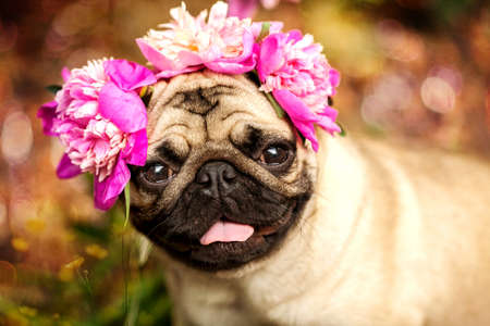 A happy pug puppy dog ??in the colors of peonies. Pug at a party at a picnic