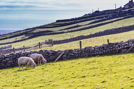 medow: Typical Irish rural scenery with sheep on a green medow. Picture taken in County Kerry, Ireland.