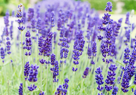 A close up of a lavender flower in the summer