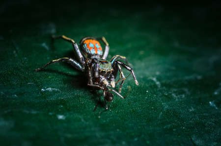 victims: Jumping Spider with victims on green leaf Stock Photo