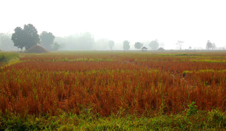 Field and fog photo