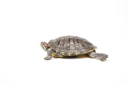 tortoise, isolated on white background