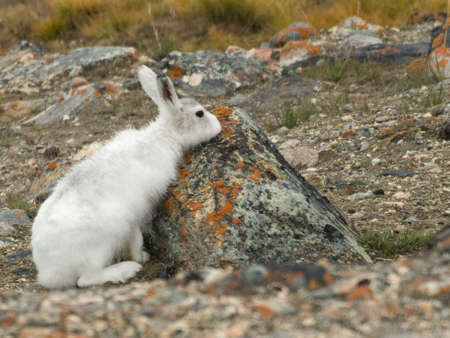 Arctic Hare Stock Photo - 5879159