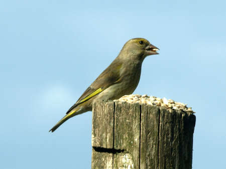 greenfinch: Greenfinch  Stock Photo