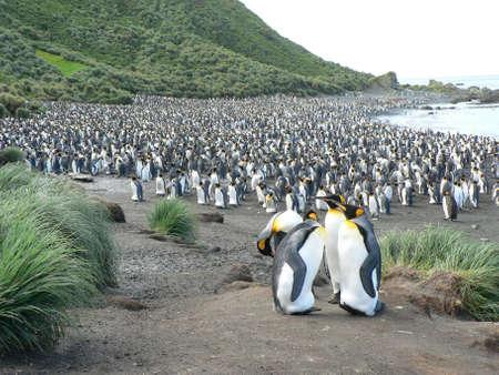 pinguinera: Colonia de ping�ino rey, isla Macquarie, isla  Foto de archivo