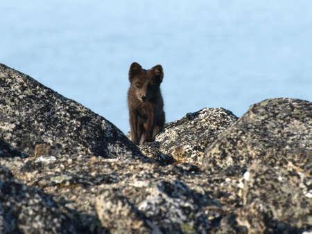 arctic fox: Blue Morph Arctic Fox