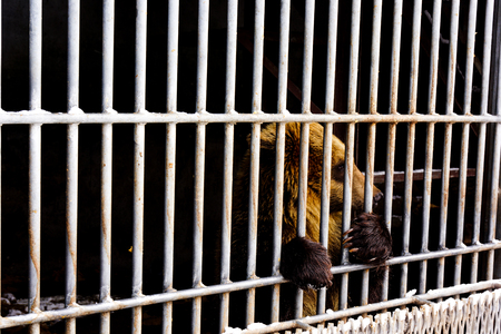 cruel zoo: Lonely brown bear in a cage Stock Photo