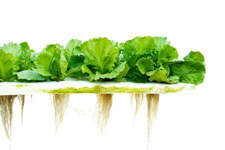 Lettuce hydroponic Reklamní fotografie