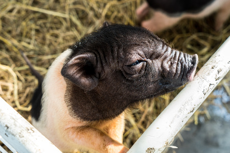 dwarf hog in the cage Stock Photo