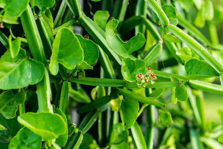 hemorrhoids: Cissus quadrangularis L. (The plant is a herb used for the treatment of hemorrhoids.)