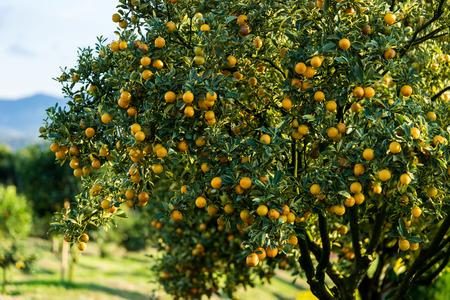 naranja arbol: árbol de naranja - Orange Farm - Orange Park Foto de archivo