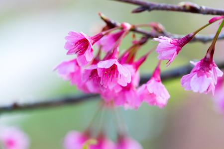 cereza: Wild Himalayan Cherry flower (Prunus cerasoides)