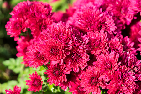 Fall Mums — Schlegel Greenhouse