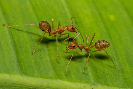 investigative: fire ants meeting on banana leaf