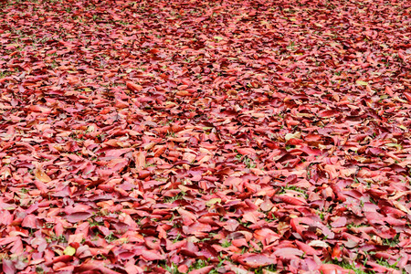sear and yellow leaf: A lot of red dry leaves lying on the ground Stock Photo