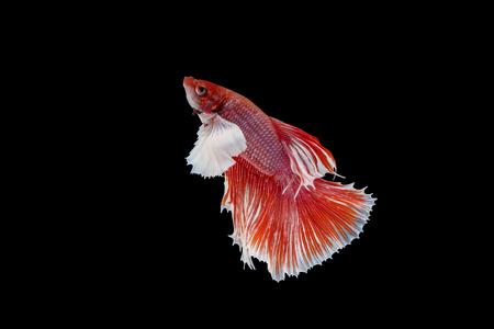 aquarium hobby: siamese fighting fish isolated black background