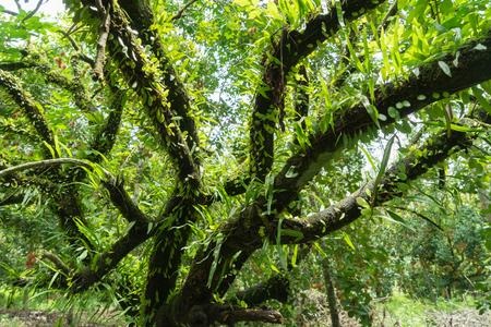 parasite: Parasite on rambutan tree