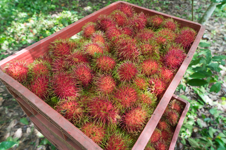 a lot of rambutan in the basket