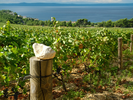 fenced in: Fenced vineyards in Croatia in the background with the Adriatic Sea. Stock Photo
